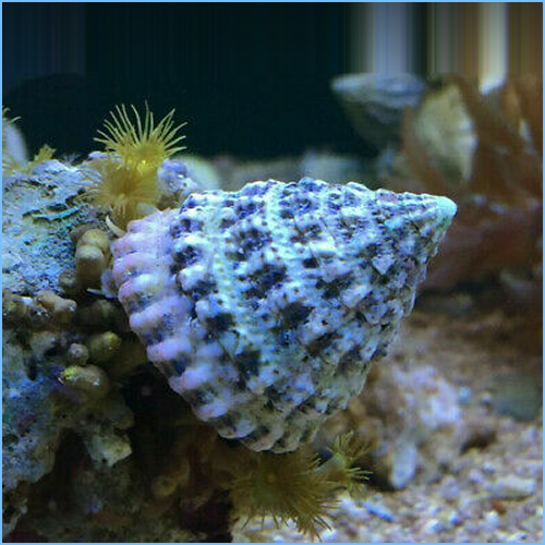 Astraea Turbo Snail or Astraea Star Snail