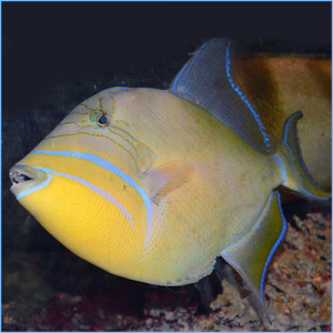 Atlantic Queen Triggerfish or Queen Trigger