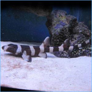Banded Cat Shark