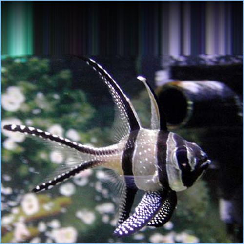 Banggai Cardinalfish or Kaudern's Cardinal