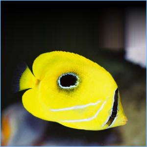 Bennetti Butterflyfish or Bluelashed Butterflyfish