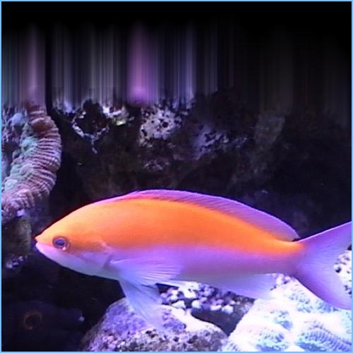 Bicolor Anthias