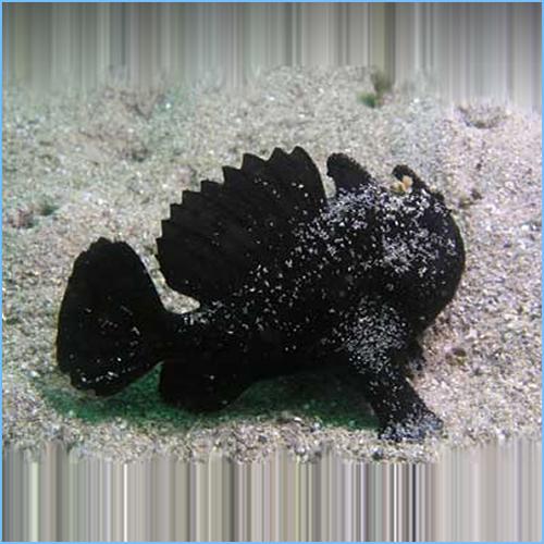 Black Spotted Anglerfish or Blotched Anglerfish