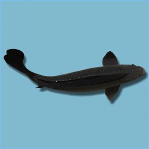 Black Koi Fish or Karasu Koi Fish