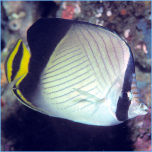 Blackened Butterfly Fish