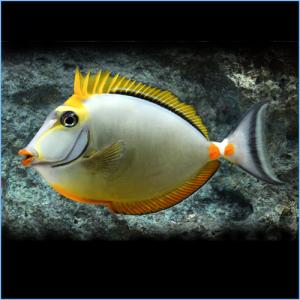 Blonde Naso Tang Fish