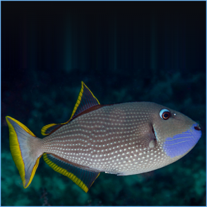 Blue Jaw Triggerfish Male