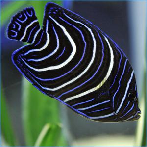 Blue Koran Angelfish