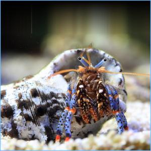 Blue Leg Hermit Crab or Tricolor Hermit Crab