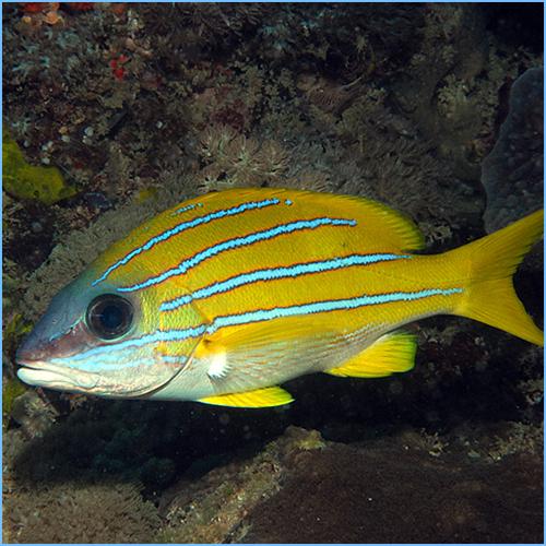 Blue-Line Snapper Fish or Bluestripe Snapper