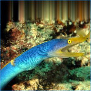 BlueRibbon Eel or Leaf-Nosed Moray Eel