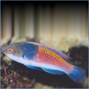Blue-Sided Wrasse or Blue Scaled Fairy Wrasse