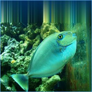 Blue Unicorn Tang or Spotted Unicornfish