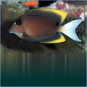 Bristletooth Tomini Tang or Tomini Surgeonfish