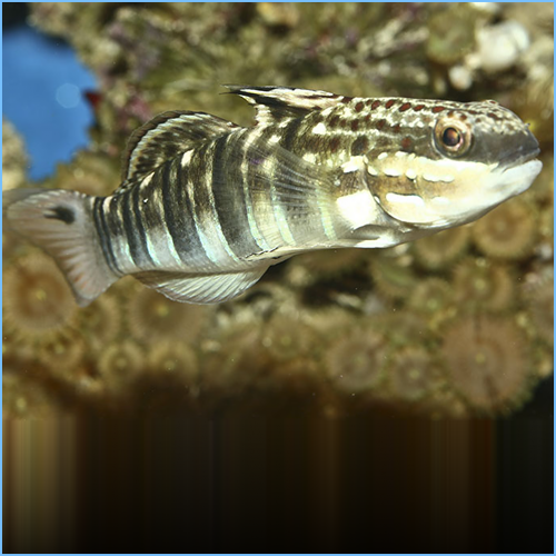 Bullet Goby or Brown Barred Goby