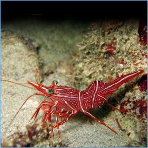 Camelback Shrimp or Dancing Shrimp