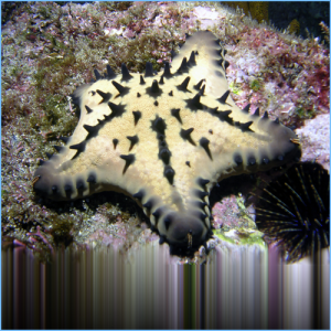 Chocolate Chip Sea Star or Horned Sea Star