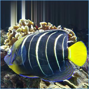 Chrysurus Angelfish or Goldtail Angelfish