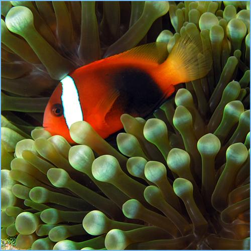 Cinnamon Clownfish
