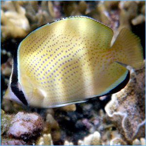 Citron Butterflyfish or Speckled Butterflyfish