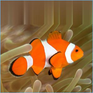 Clown Anemonefishor False Percula Clownfish