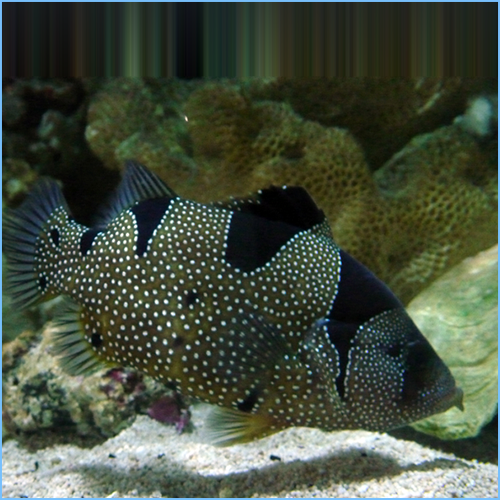 Clown Grouper Fish or Spotted Soapfish