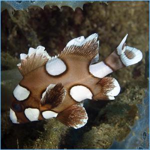 Clown Sweetlips or Harlequin Sweetlips Fish