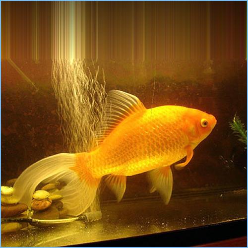 Comet-Tailed Goldfish or Comet Goldfish