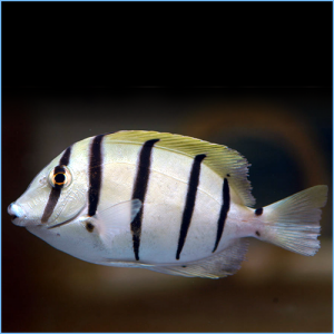 Convict Tang Fish or Convict Surgeonfish