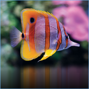 Copperband Butterflyfish or Beaked Coral Fish