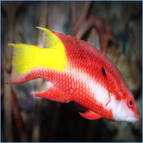 Cuban Hogfish or Spotfin Hogfish