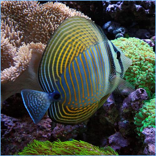 Desjardin Sailfin Tang or Red Sea Sailfin Tangfish