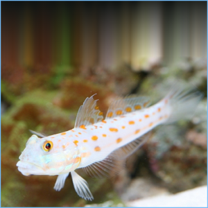 Diamond Watchman Goby or Orangespotted Sleeper Goby