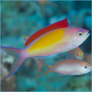 Dispar Anthias or Madder Seaperch Anthias