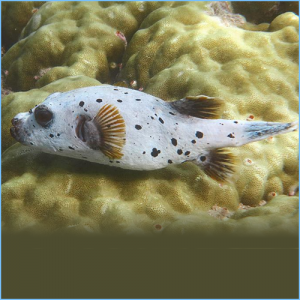 Dog Face Pufferfish or Yellowbelly Dogface Puffer