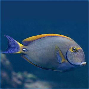 Dusumieri Tang or Eyestriped Surgeonfish