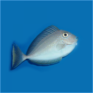 Lopez's Unicornfish or Elongate Unicornfish