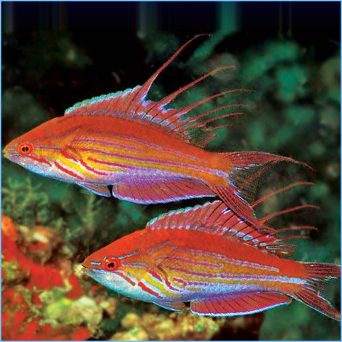 Filamented Flasher Wrasse or Whip-fin Fairy Wrasse