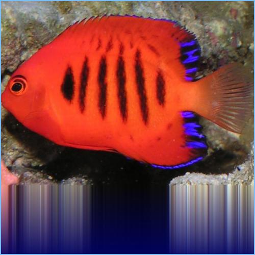 Flame Angelfish or Japanese Pygmy Angelfish