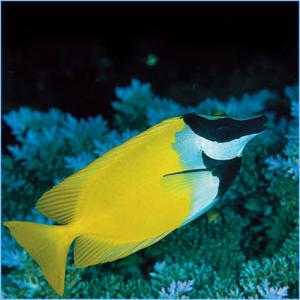 Foxface Rabbitfish