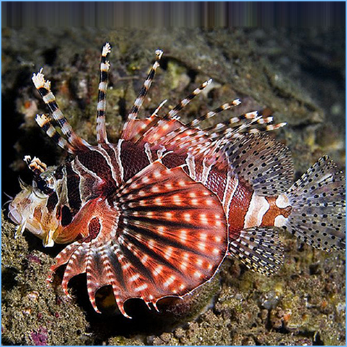 Fuzzy Dwarf Lionfish or Shortfin Lionfish