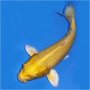 Gold Ogon Koi