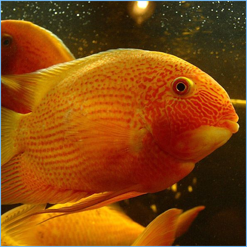 Gold Severum or Banded Cichlid