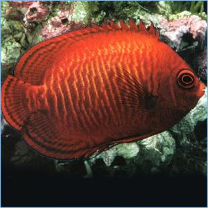 Golden Angelfish or Aurinatus Angelfish