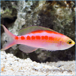 Golden Anthia or Central Pacific Anthia Fish