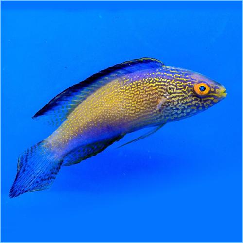 Golden Rhomboidalis Wrasse or Diamond-Tail Fairy Wrasse
