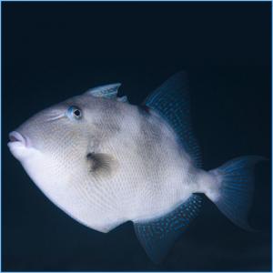 Grey Triggerfish