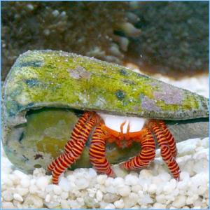 Halloween Hermit Crab or Striped Hermit Crab