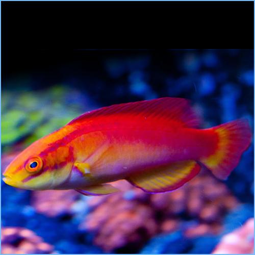 Hawaiian Flame Wrasse Fish