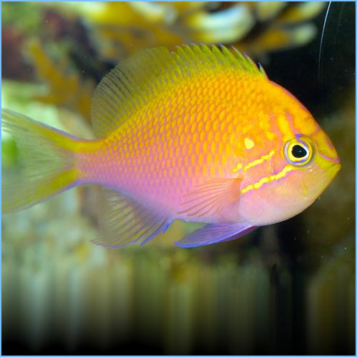 Hawkfish Anthias or Sunburst Anthia Fish
